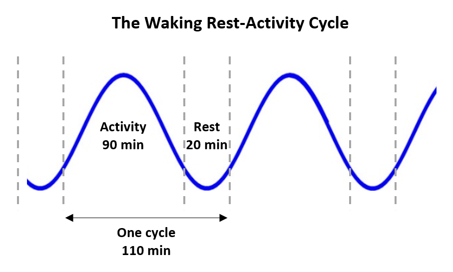 increase productivity -waking rest-activity cycle
